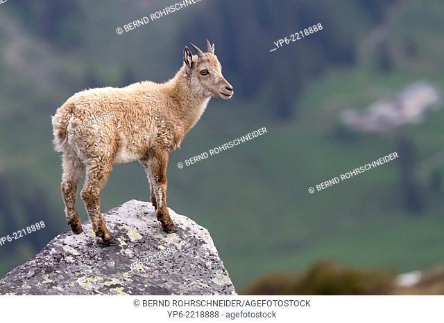young Alpine Ibex (Capra ibex) standing on rock, Niederhorn, Bernese Oberland, Switzerland