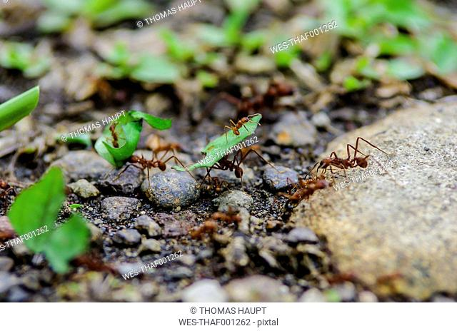 Costa Rica, Leaf-cutting ants carrying leaves