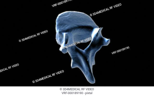 Animation depicting a half rotation of a thoracic vertebra
