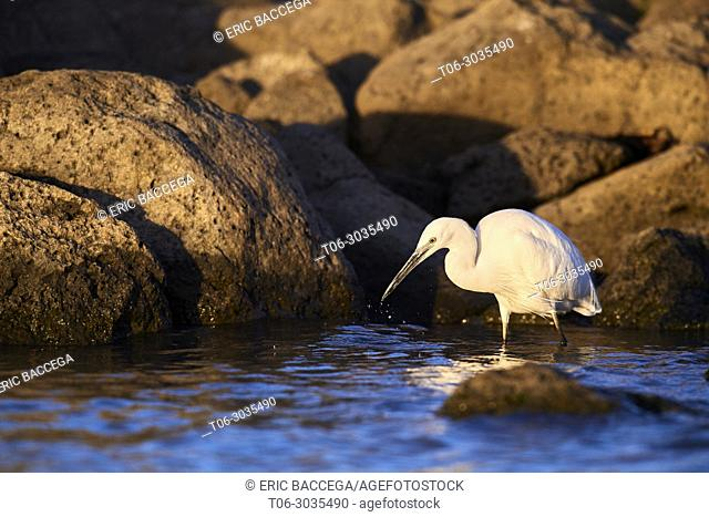 Little egret (Egretta garzetta) fishing. Baringo lake. Kenya, Africa