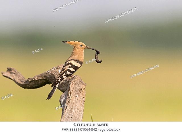 Eurasian Hoopoe (Upupa epops) adult, standing on branch, with prey in beak, Hortobagy N.P., Hungary, May