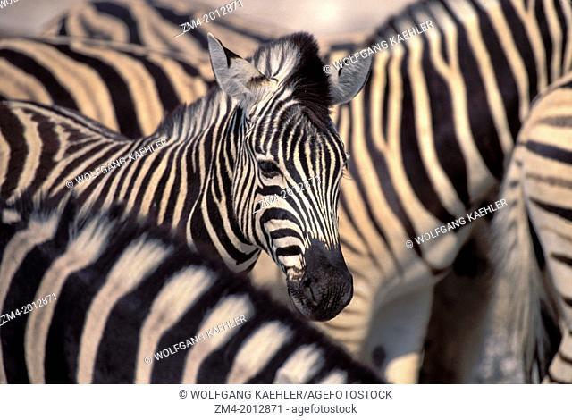 NAMIBIA, ETOSHA NATIONAL PARK, ZEBRAS