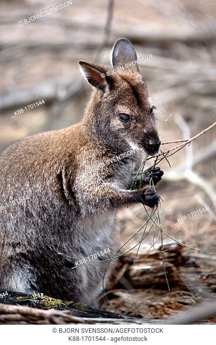 Bennet's Wallaby Macropus rufogriseus  Freycinet, Tasmania, Australia