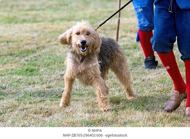 Mink Hounds (Canis lupus familiaris); recent new breed derived from former Otterhounds, to track down feral introduced American Mink (Neovision vision)