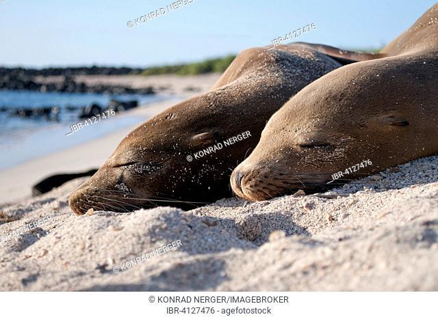 Galapagos sea lions (Zalophus wollebaeki), San Cristóbal, Galapagos, Ecuador