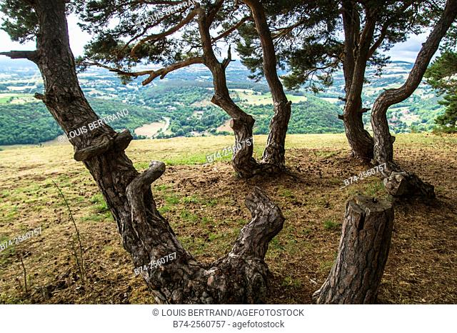 France, Auvergne, Haute Loire, Espaly, Evergreen trees on hill in front of rural landscape