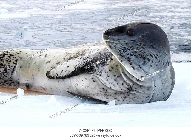 male leopard seal on an ice floe that is turning his head