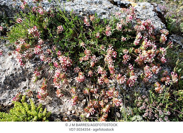Kidney vetch (Anthyllis vulneraria) is a biennial plant native to Europe, North Africa and Asia Minor. This photo was taken in Valeria, Cuenca province