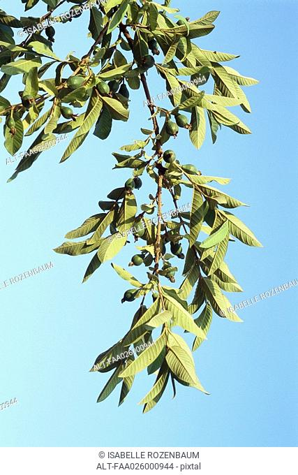 Avocados growing on tree branch, close-up, low angle view