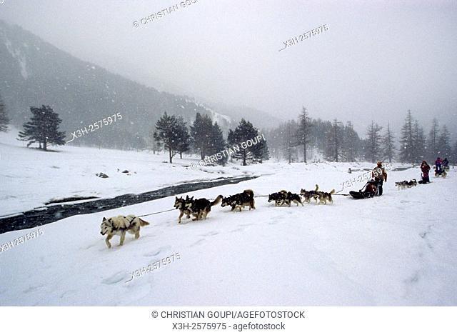 dog sled ride, Casterino, Mercantour National Park, Alpes-Maritimes department, Provence-Alpes-Cote d'Azur region, France, Europe