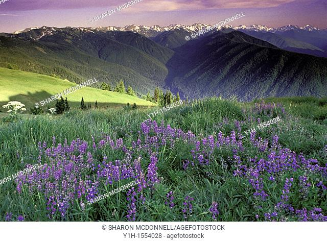 Summer wildflowers blooming in high mountain meadows overlooking Hurricane Ridge. Olympic Peninsula, Washington State, USA
