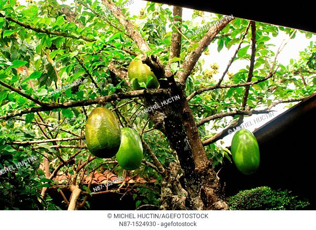 calabash or small tree Crescentia cujete tropical family Bignoniaceae, whose fruit is used as a container under the name of gourd or cuia