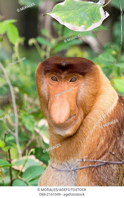 Asia,Borneo,Malaysia,Sarawak,Bako National Park,Proboscis monkey or long-nosed monkey (Nasalis larvatus),adult male
