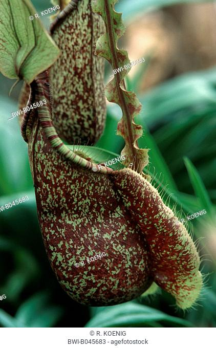 pitcher plant (Nepenthes Mizuho, Nepenthes x mizuho), special leaf for catching insects