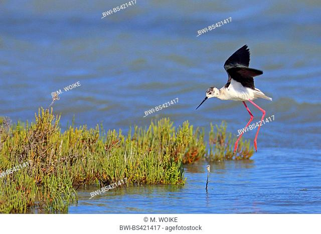 black-winged stilt (Himantopus himantopus), landing in shallow water, side view, France, Camargue