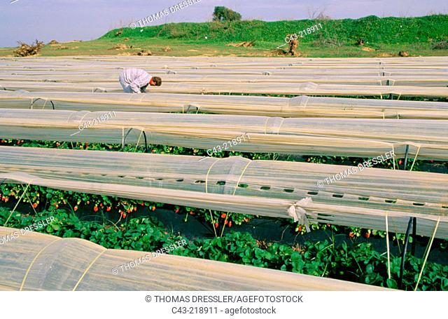 Strawberry fields near Lepe. Huelva province. Andalusia. Spain