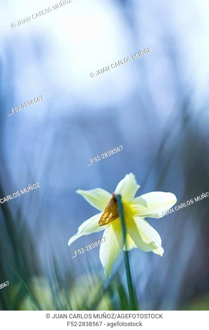Narcissus pseudonarcissus (commonly known as wild daffodil or Lent lily), Gorbeia Natural Park, Alava, Basque Country, Spain, Europe