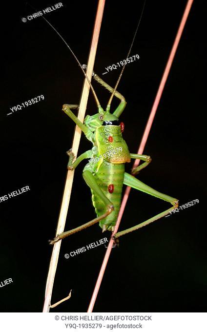 Saddle-Back Cricket Ephippiger ephippiger with Parasites