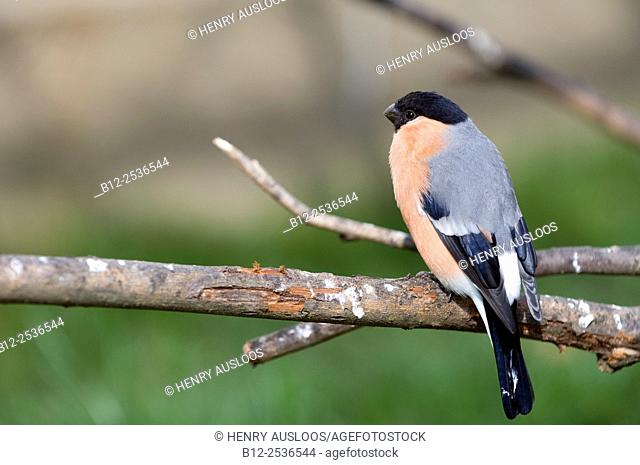 Bullfinch (Pyrrhula pyrrhula), France
