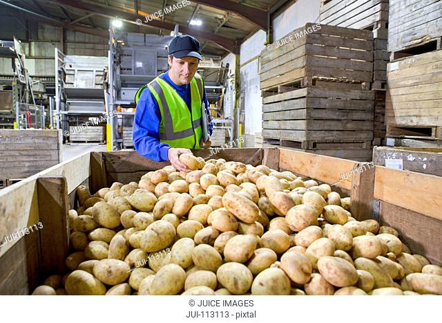 Worker examining bin of fresh harvested potatoes in factory