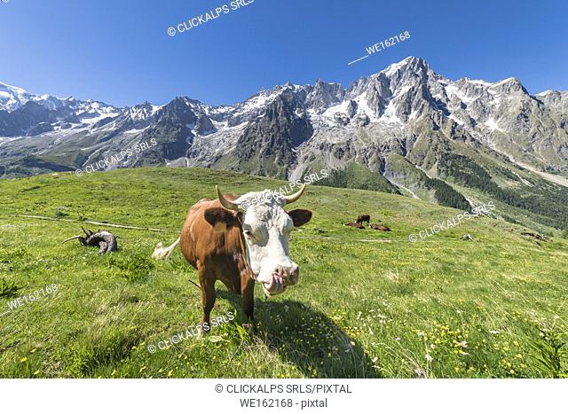 Cows grazing in Val Ferret in front of the Mont Blanc (Alp Lechey, Ferret Valley, Courmayeur, Aosta province, Aosta Valley, Italy, Europe)