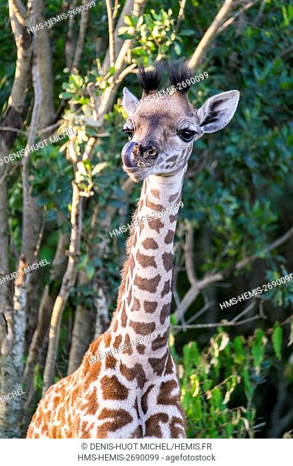Kenya, Masai-Mara Game Reserve, Girafe masai (Giraffa camelopardalis), baby