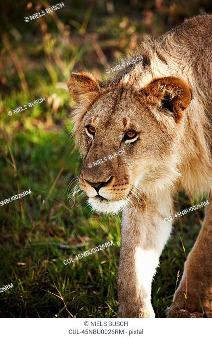 Lion walking in grass