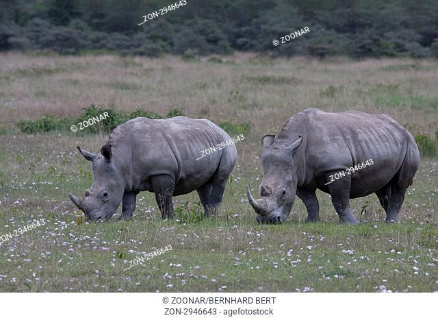 White Rhinos feeding, Lake Nakuru