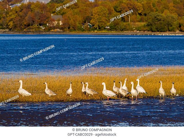MIGRATION OF SNOW GEESE IN BERTHIER-SUR-MER, SAINT LAWRENCE RIVER, CHAUDIERE-APPALACHES, AUTUMN COLORS, QUEBEC, CANADA
