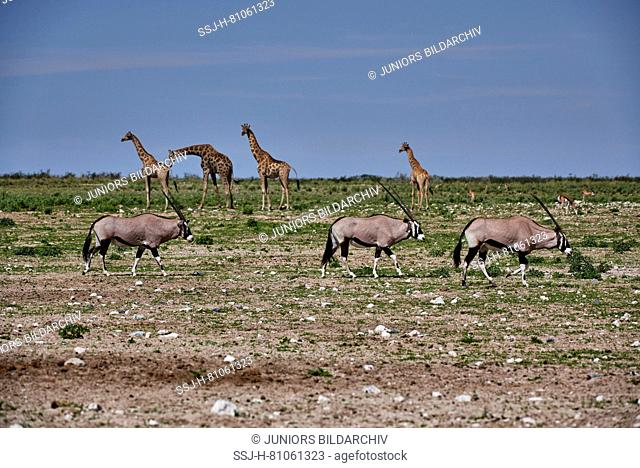 Oryx ((Oryx gazella) and giraffes (Giraffa camelopardalis giraffa) in the Etosha NP