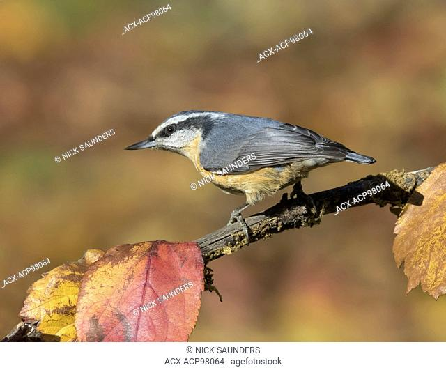 A Red-breasted Nuthatch, Sitta canadensis, perched on branch in the fall, in Saskatchewan