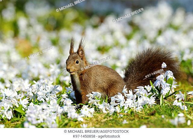 Red squirrel, Sciurus vulgaris, Hesse, Germany, Europe