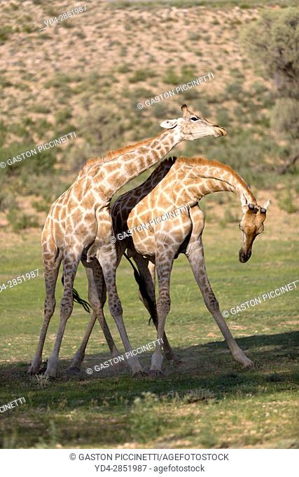 Giraffe (Giraffa giraffa giraffa) - Males, fighting, Kgalagadi Transfrontier Park, Kalahari desert, South Africa/Botswana