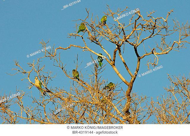 Monk parakeets (Myiopsitta monachus) sitting in a tree, Pantanal, Brazil