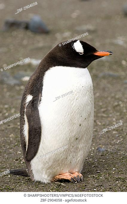 Antarctica, South Shetland Islands, Aitcho Island, Gentoo Penguin