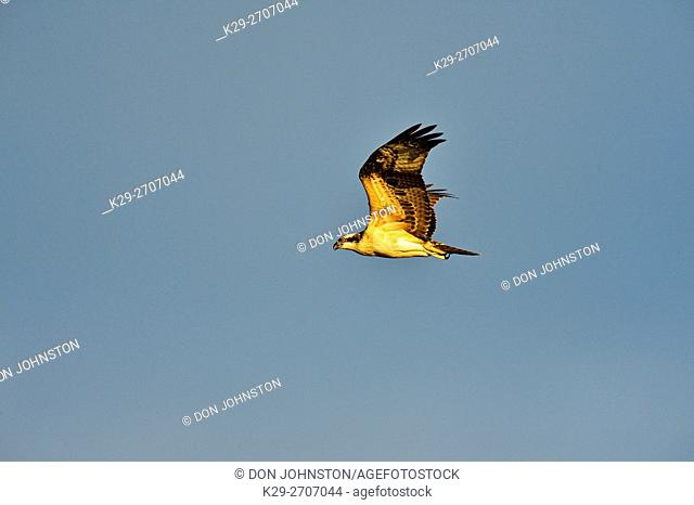Osprey (Pandion haliaetus) In flight, Fort Providence, Northwest Territories, Canada