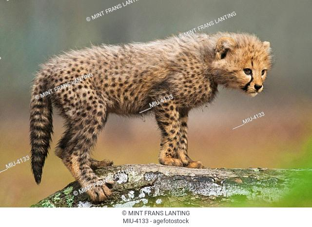 Cheetah cub, Acinonyx jubatus, White Oak Conservation Center, Florida