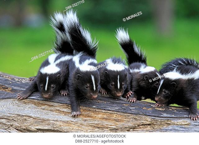 United States, Minnesota, Striped Skunk Mephitis mephitis, babies