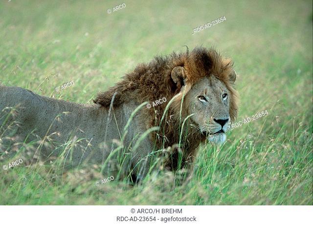 Lion male Serengeti national park Tanzania Panthera leo side