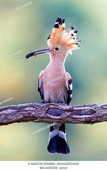 Hoopoe (Upupa epops), adult with prey in its beak, Saxony-Anhalt, Germany