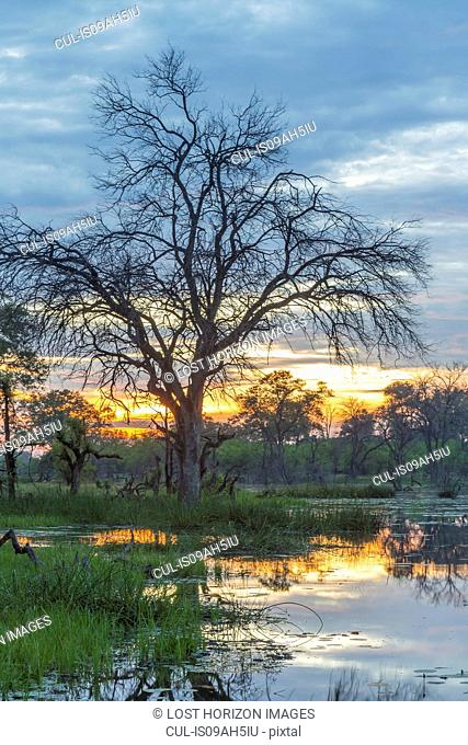 Swamp and trees, Okavango Delta, Chobe National Park, Botswana, Africa