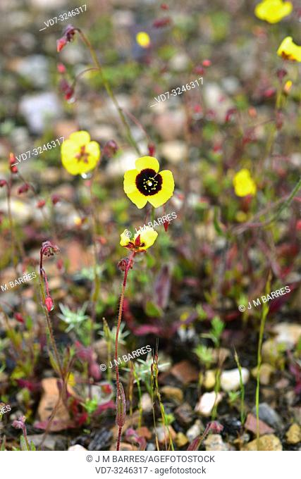 Spotted rock-rose (Tuberaria guttata or Helianthemum guttatum) is an annual plant native to Mediterranean Basin, Portugal and in some locations of British...