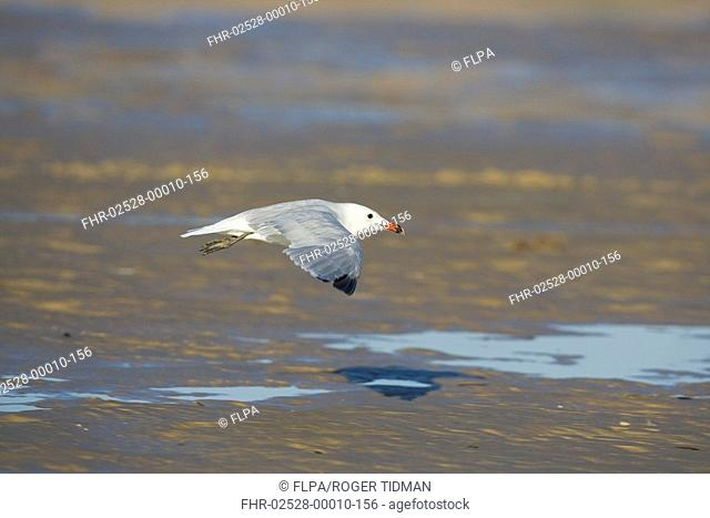 Audouin's Gull Larus audouinii adult, in flight, low over beach, Tarifa, Andalusia, Spain, september