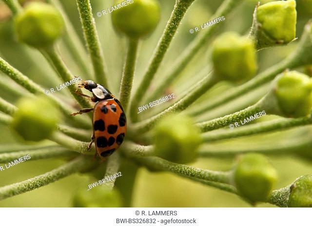 multicoloured Asian beetle (Harmonia axyridis), on ivy flowers, Germany, North Rhine-Westphalia, Verl