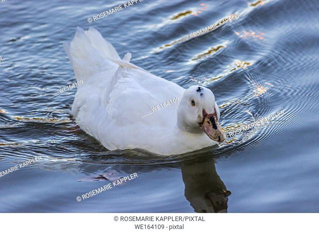 A domestic duck swims on river Saar in Germany