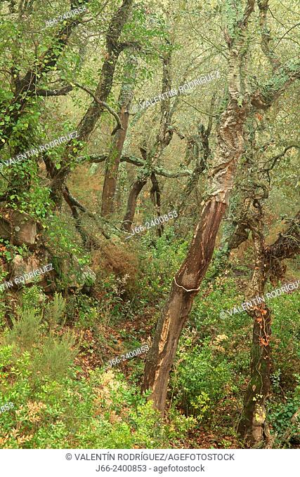 Cork oak (Quercus suber) forest in the natural park Sierra Espadán, in the ravine Mosquera. Castellón. Spain