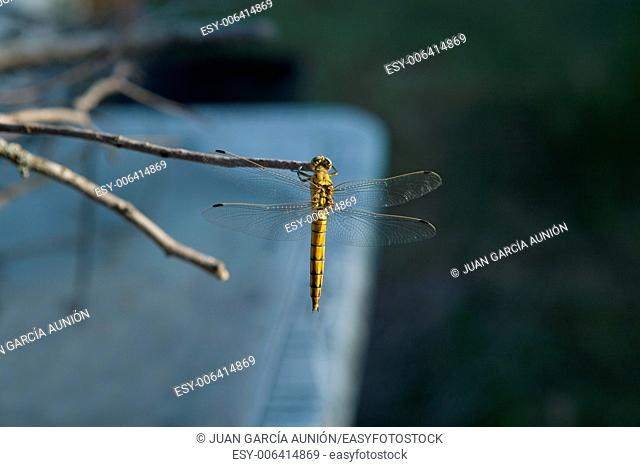 The yellow dragonfly with beautiful colors perched on a branch, Caceres, Spain