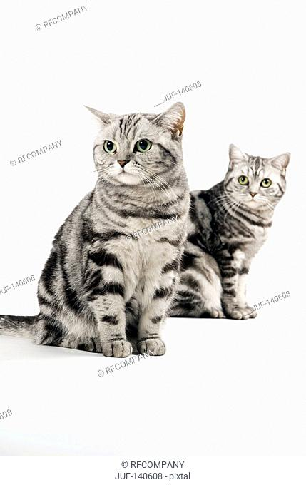 two british shorthair - sitting