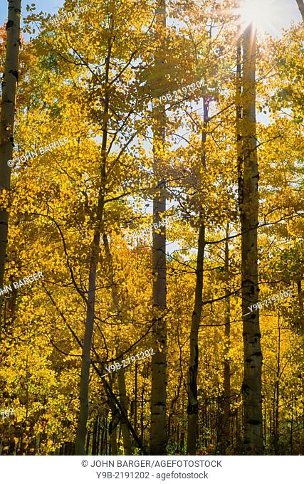 Sunlight breaks through fall colored aspen grove, Uncompahgre National Forest, Colorado, USA
