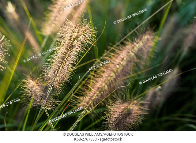 Fountain grass, Pennisetum, in a garden in Vancouver, BC, Canada
